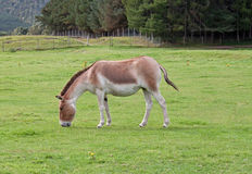 Kiang Royalty Free Stock Photo
