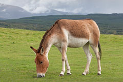 Kiang. Or Tibetan wild ass, are from the high plateaux and steppe in Tibet and live at elevations up to 5,000 meters / 16,500 feet on alpine grasslands royalty free stock photo