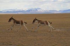 Kiang do Equus Imagem de Stock Royalty Free