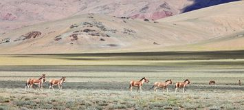Kiang (Equus kiang)- Tibetan Wild royalty free stock image