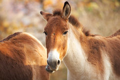 Kiang horse Royalty Free Stock Photos