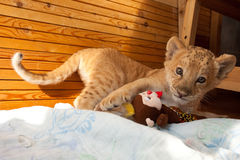 Kiara. The world first hybrid of liger mother and lion father - Kiara in Novosibirsk zoo stock image