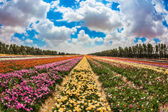 Kibbutz field next to the Gaza Strip. Spring in Israel. Magnificent multicolored flowering garden buttercups. Kibbutz field next to the Gaza Strip. The concept Stock Images
