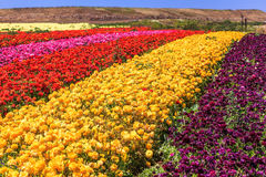 The kibbutz field with ranunculus Royalty Free Stock Photos