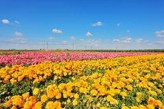 Kibbutz fields with bright flowers Ranunculus Stock Photos
