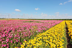 Kibbutz fields with  flowers. Kibbutz fields with bright flowers Ranunculus. Israeli spring. Flowers are grown for export Stock Images