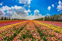 Kibbutz garden buttercups Stock Image
