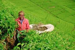 Kibuye/Ρουάντα - 08/26/2016: Αφρικανικός εργαζόμενος γυναικών που συλλέγει το τσάι στοκ εικόνες
