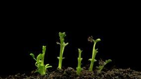 Kichererbsen-Samen-Keimung auf schwarzem Hintergrund stock video