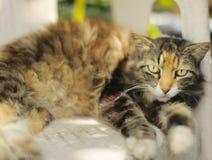Kicia kot kłaść na białym krześle Zdjęcie Stock