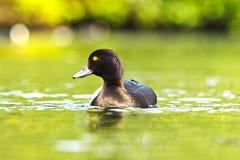 Kiciasta kaczka na wody powierzchni Obraz Stock