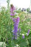 Kiciasta wyka lub Ptasia wyka (Vicia cracca) Zdjęcie Royalty Free