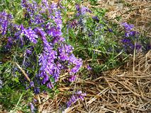 Kiciasta wyka r jako wildflower świrzepa w NYS Zdjęcia Stock
