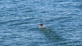 Kiciastego maskonura Fratercula cirrhata, także znać jako czubaty maskonur, próby zdejmować od powierzchni woda zdjęcie royalty free