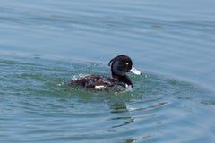 Kiciasty kaczki aythya fuligula przygotowywa w błękitne wody Fotografia Royalty Free