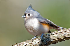 Kiciasty Titmouse obrazy stock