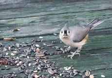 Kiciasty Titmouse z ptaka ziarnem Obrazy Royalty Free