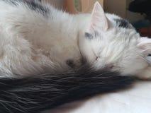 kiciunia śpiąca Zdjęcia Stock