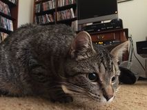 Kiciunia kota tabby kłaść w dół zdjęcia stock
