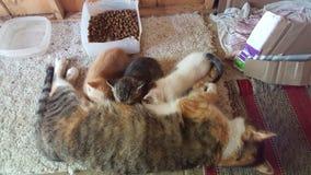 Kiciunia koty Obraz Royalty Free
