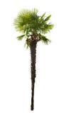 Kick isolerad palmträd arkivbilder