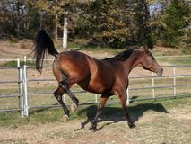 Kick up your heals. Arabain stallion kicking up his back legs Royalty Free Stock Images