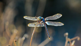 The Kickboxer. A pretty Dragonfly having fun in the sun looking as if it is holding boxing gloves Stock Images