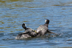 Kickboxing. Two American Coots fighting with their feet  on the water Stock Photography