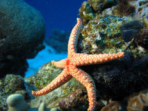 Kicking. A starfish as if it's kicking. Necklace pearl Sea Star (Fromia Monilis stock image