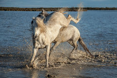 Kicking stallion. In the marshes of the camargue in southern france at sunrise stock images
