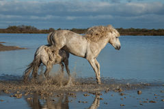 Kicking stallion. Stallions fighting in the marshes of the camargue in southern france at sunrises stock photography