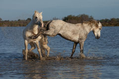 Kicking stallion. Two stallions fighting in the marshes of the camargue in southern france stock photography