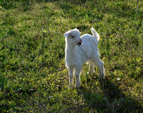 Kid......(2). Here is a little goat in the grass Royalty Free Stock Photography