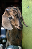 Kid. Billy Goat in a petting zoo Royalty Free Stock Image