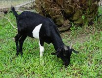 Kid black goat 6 months. Portrait in Farm animals Collection of picture such as goat Stock Image