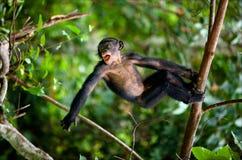 Kid Bonobo plays. stock photos