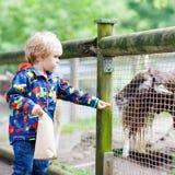 Kid boy  feeding goats on an animal farm Royalty Free Stock Image