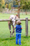 Kid boy with glasses feeding lama on an animal farm Royalty Free Stock Photo