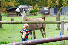 Kid boy with glasses feeding lama on an animal farm Stock Image