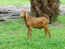 Kid brown goat 6 months. Portrait in Farm animals Collection of picture such as goat Stock Photos