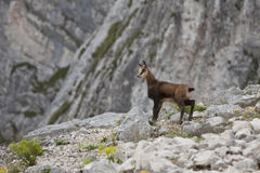Kid chamois Stock Photo