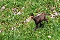 Kid chamois Royalty Free Stock Photos