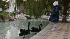 Child and couple of black swans swimming in a calm pond in the park. Kid and couple of black swans swimming in a calm pond in the park stock video footage