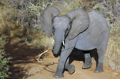 Kid elephant. Akid elephant in the Kruger National park. South Africa stock photography