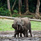 The kid the elephant calf with mum. Stock Photos