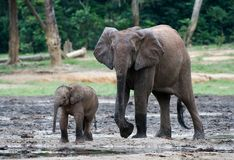 The kid the elephant calf with mum. Stock Photo