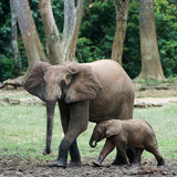 The kid the elephant calf with mum. Stock Photography