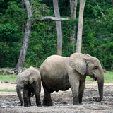 The kid the elephant calf with mum. Stock Images