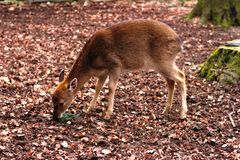 Young European deer kid eating a coniferous tree branch in winter forest royalty free stock photo