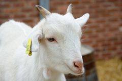 Kid on a Farm. Baby goat Royalty Free Stock Images
